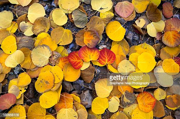 Fall Colors-Aspen Leaves cover the ground