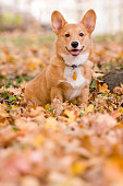 Fall Corgi Puppy Portrait