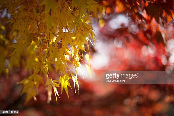 Fall foiliage at the US National Arboretum in Washington DC November 9 2014 AFP PHOTO / Jim WATSON