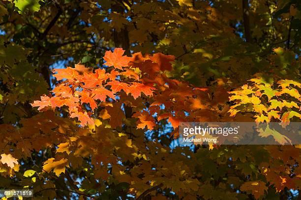 Fall foliage leaves turning color