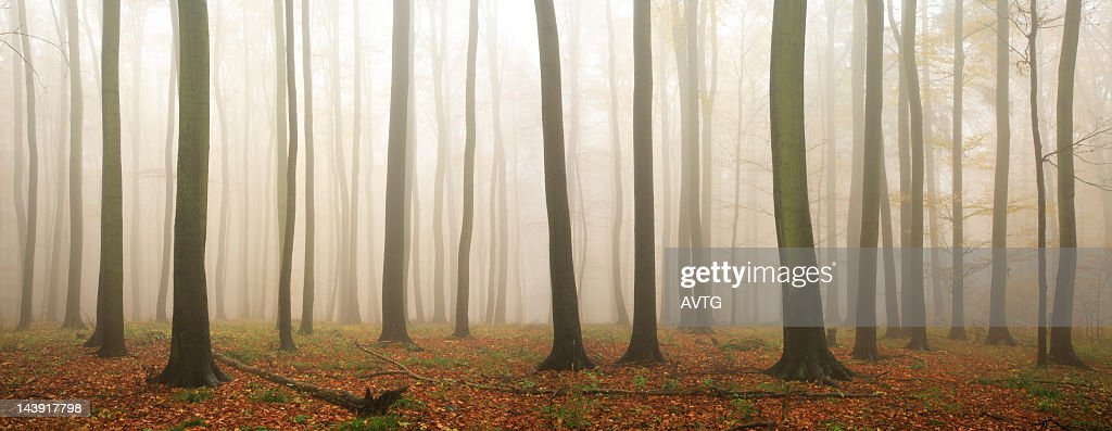 Fall Forest of Old Beech Trees in Rain and Mist : Stock Photo