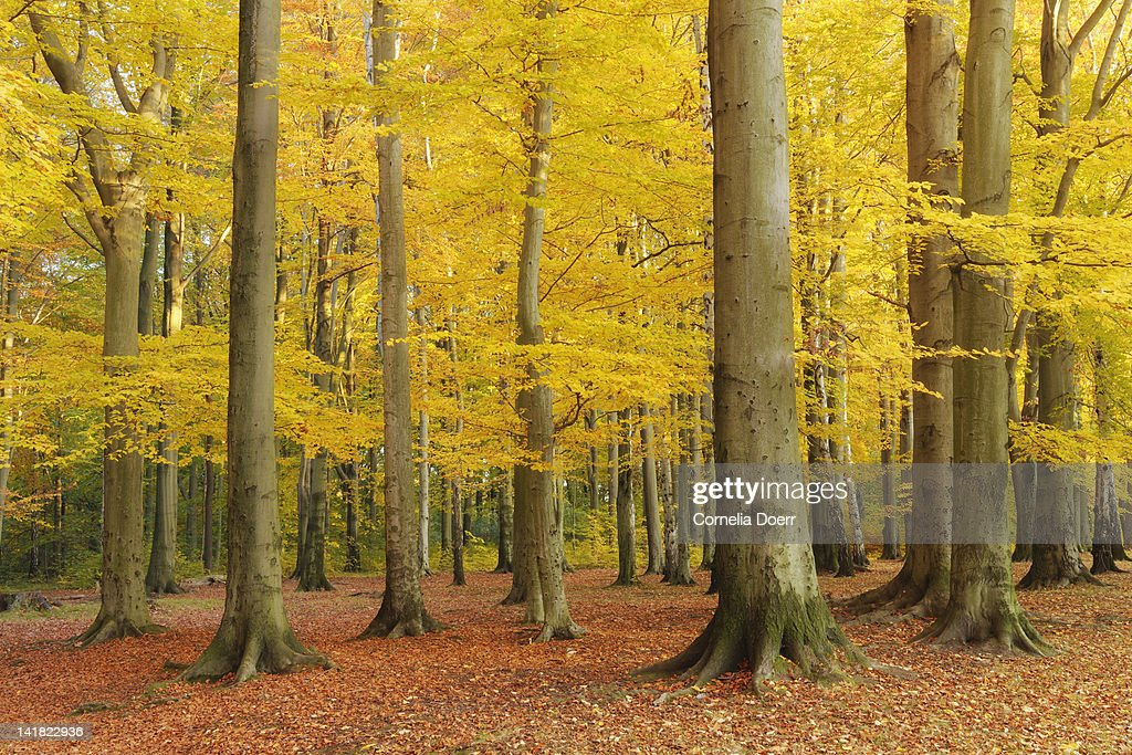 Fall forest with colorful foliage : Stock Photo