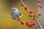 An American goldfinch perching on winterberry in the Fall.