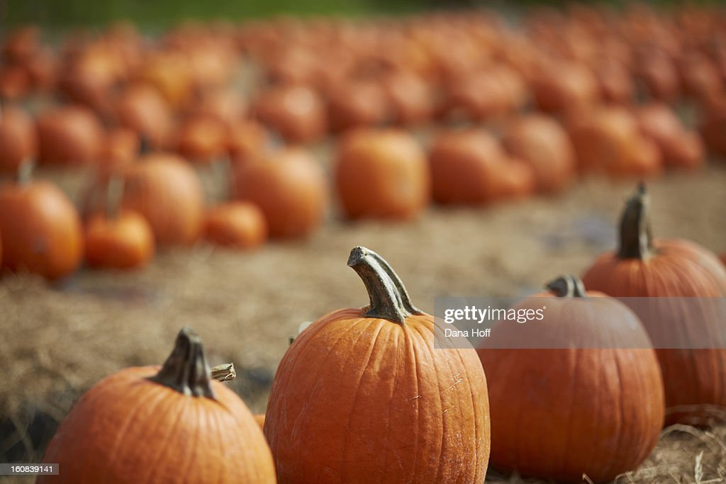 Fall Halloween pumpkin patch : Stock Photo