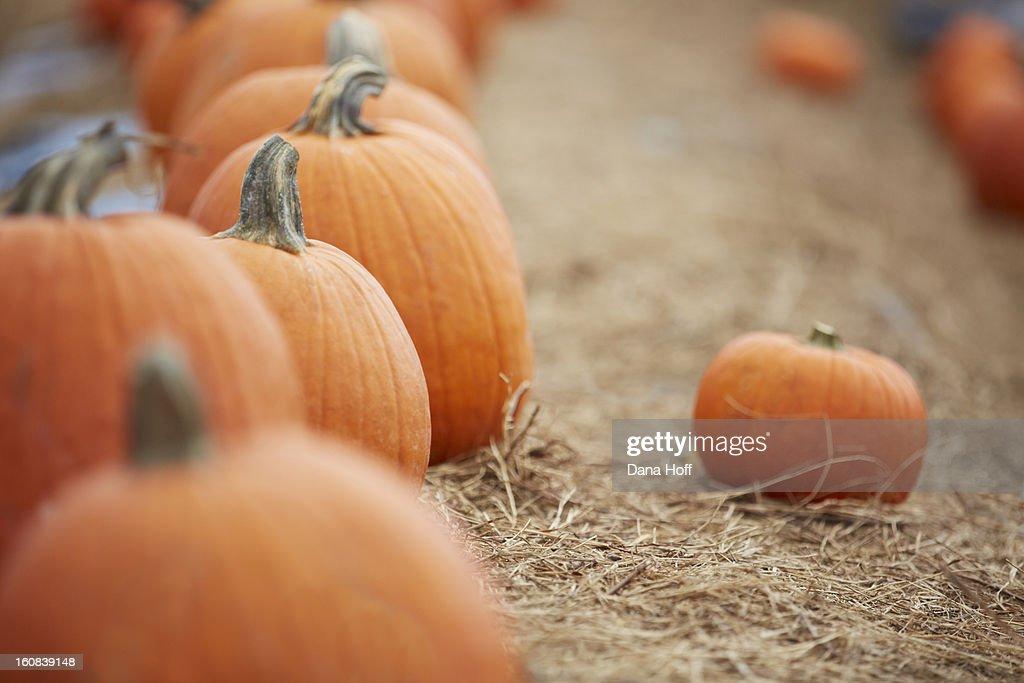 Fall Halloween pumpkin patch : Stock Photo