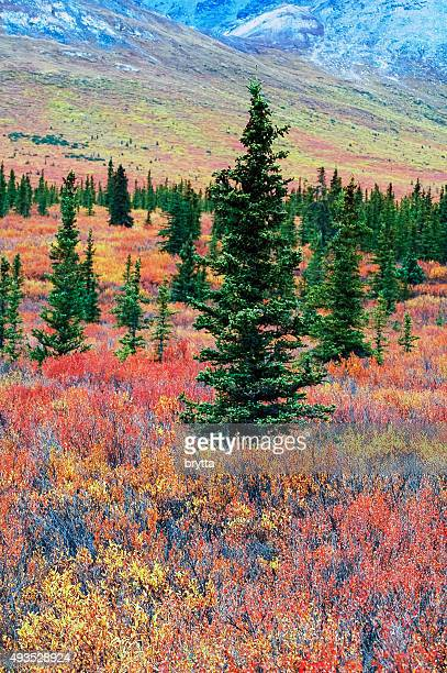 Fall landscape  in Denali National Park,Alaska
