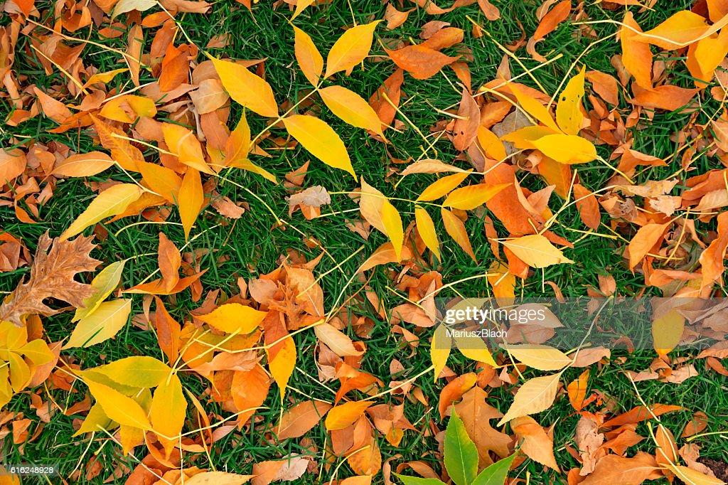 Fall leafs on grass : Stock-Foto