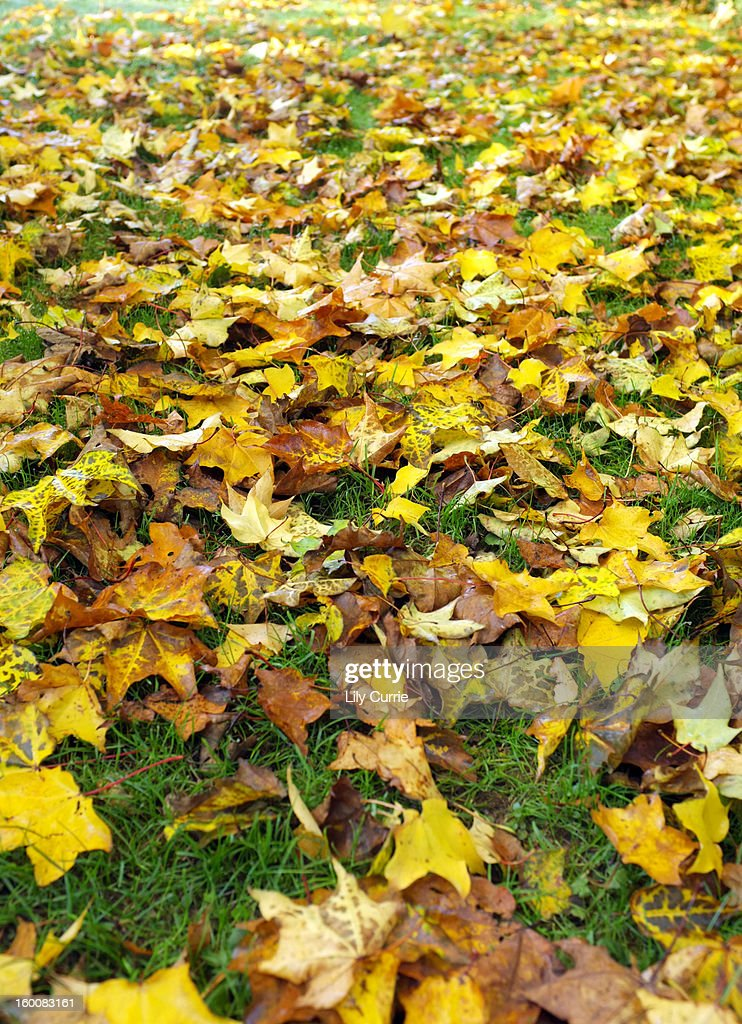 Fall leaves on grass colors of autumn : Stock Photo