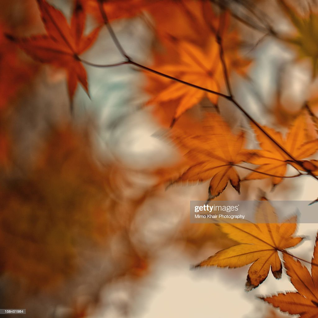 fall leaves swaying in the wind : Stock Photo