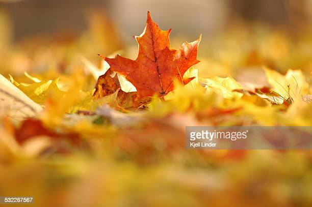 Fall Maple Leaf on ground