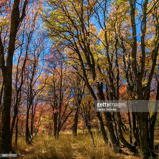 Fall maple trees, Wasatch Cache National Forest, Utah, USA
