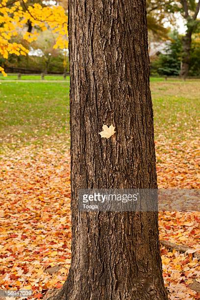 Fall yellow leaf stuck on tree trunk