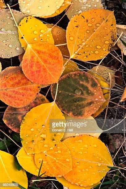 Fallen Aspen Leaves on Ground
