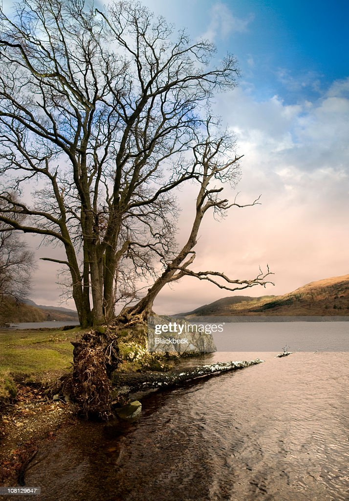 Fallen Birch Tree in Coniston Water Lake : Stock Photo