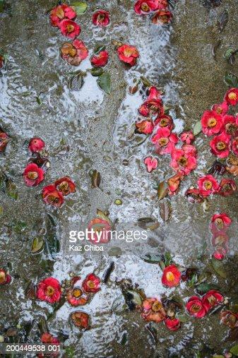 Fallen Camellia japonica flowers in stream : Stock Photo