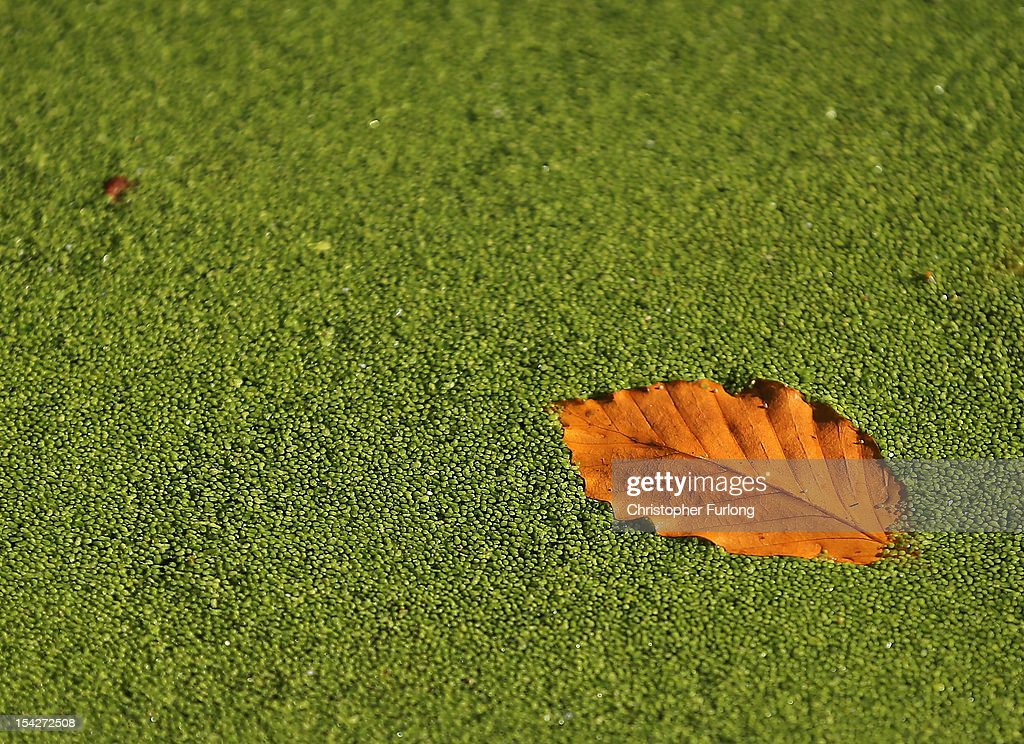 A fallen leaf floats on top of chick weed at The National Trust's Tatton Park on October 17, 2012 in Knutsford, England. As summer draws to a close the cooler temperatures bring on the Autumn foliage colours.
