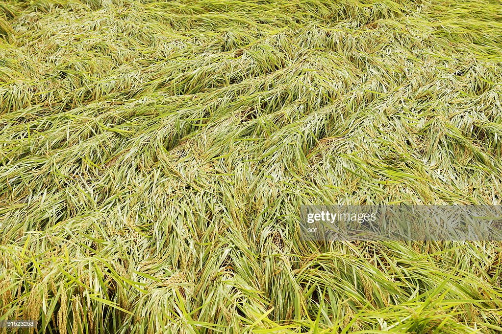 Fallen rices : Stock Photo