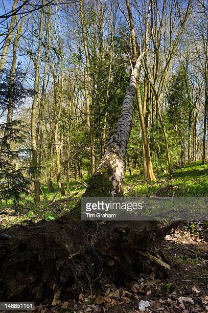 Fallen Silver Birch tree Betula pendula in springtime in woodland in Swinbrook in the Cotswolds Oxfordshire UK
