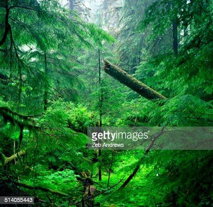 Fallen tree in the Olympic wilderness
