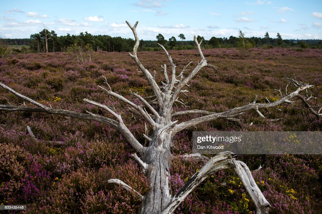 A fallen tree lays in Heather as it blooms on Thursley National Nature Reserve on August 16, 2017 in Thursley, England. The 325 hectre site, managed by Natural England, is a site of special scientific interest consistsing of open dry heathland, peat bogs, ponds, pine, deciduous woodland and an abundance of wildlife.