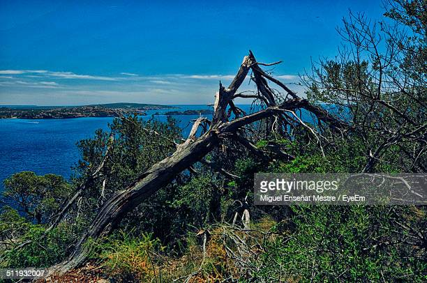 Fallen tree on cliff with sea in background