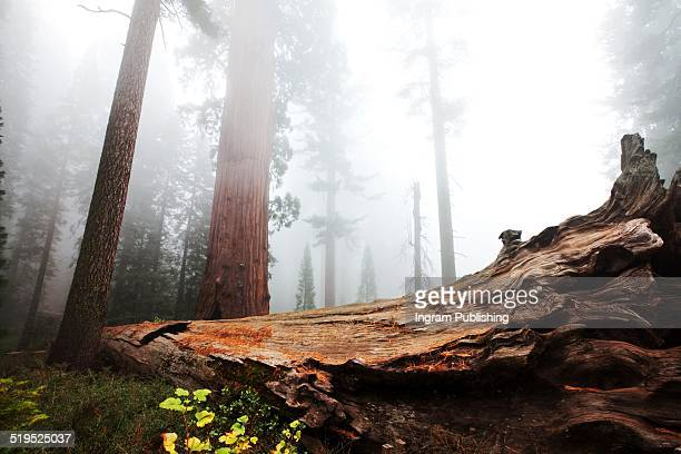 Fallen tree trunk at Sequoia National Park