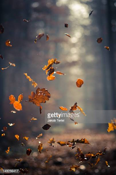 Falling autumn leaves in forest