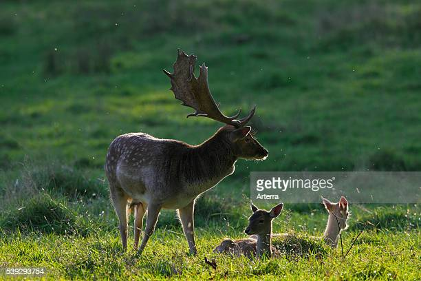 Fallow deer buck guarding does during the rutting season in autumn Denmark