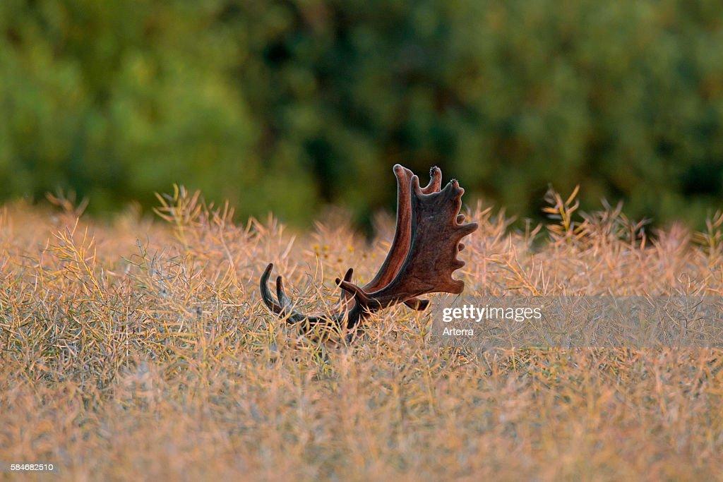 Fallow deer buck with antlers covered in velvet hiding in rape field in summer