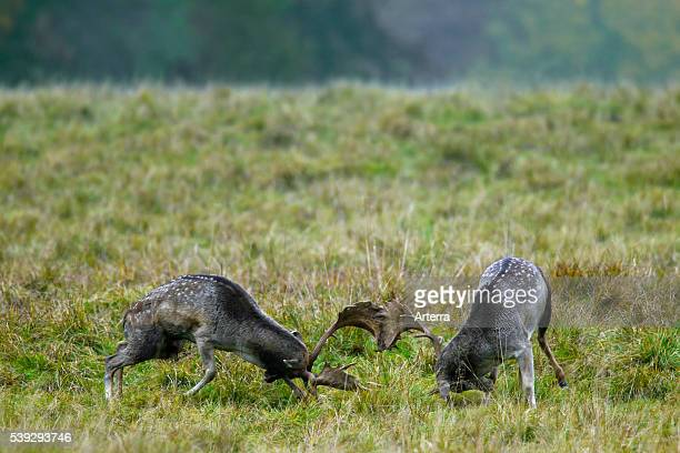Fallow deer bucks fighting during rutting season in autumn Denmark