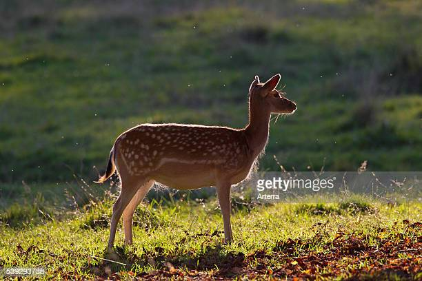 Fallow deer doe during rutting season in autumn Denmark
