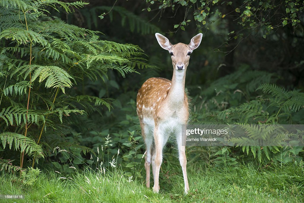Fallow deer doe (female) : Stock Photo