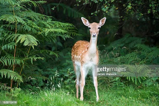 Fallow deer doe (female)