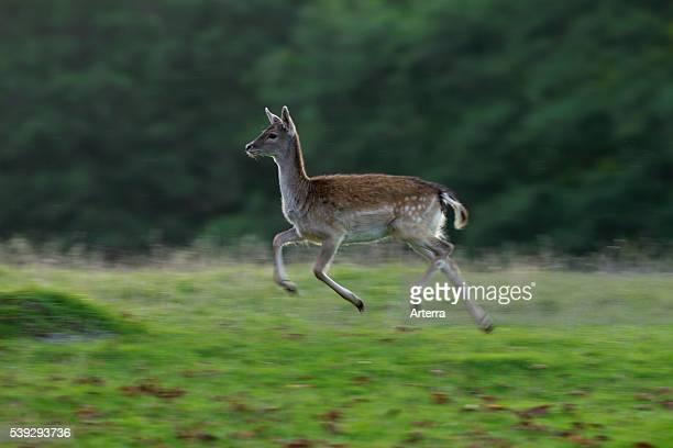 Fallow deer doe running in grassland in the rain Denmark