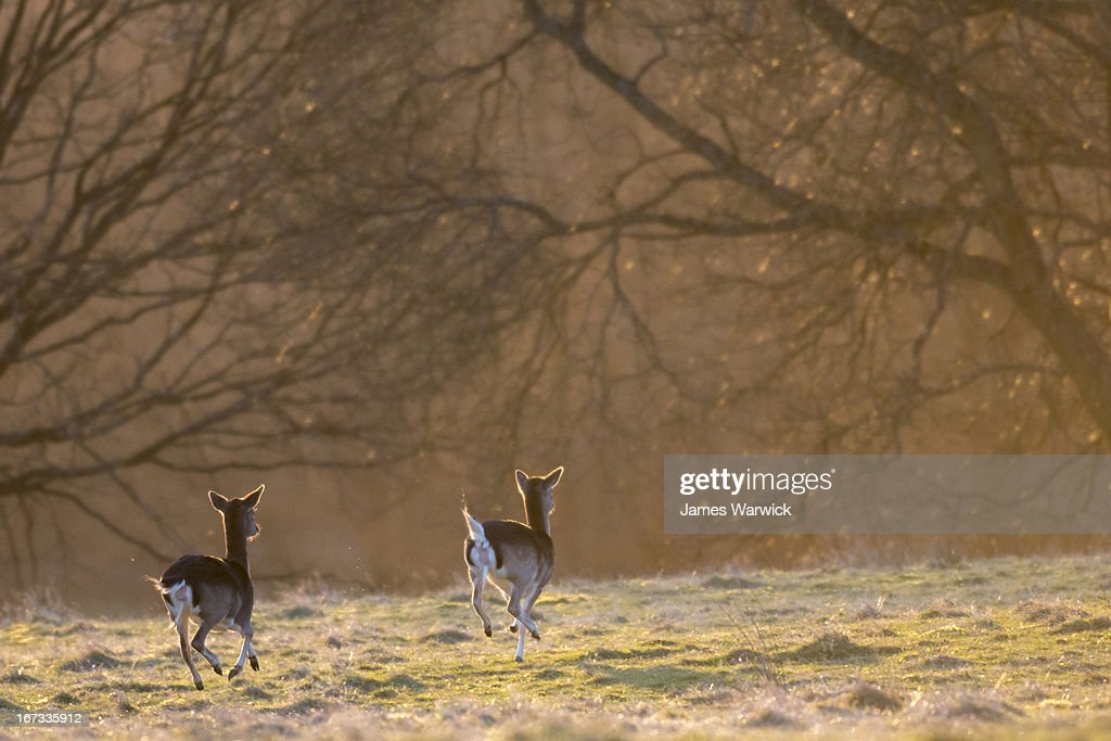 Fallow deer does (females) on the move at dawn : Stock Photo