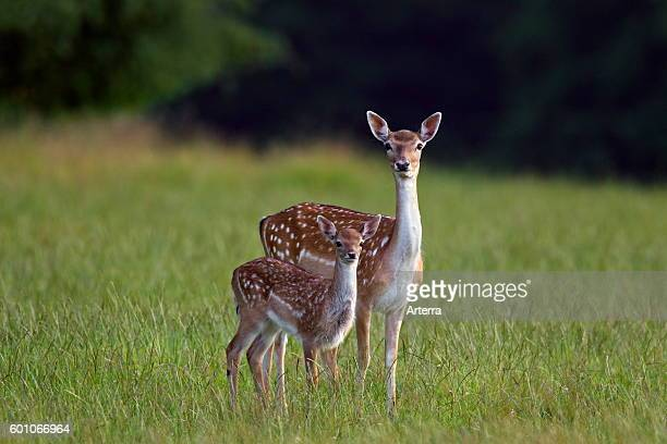 Fallow deer female with fawn in grassland at forest's edge in summer