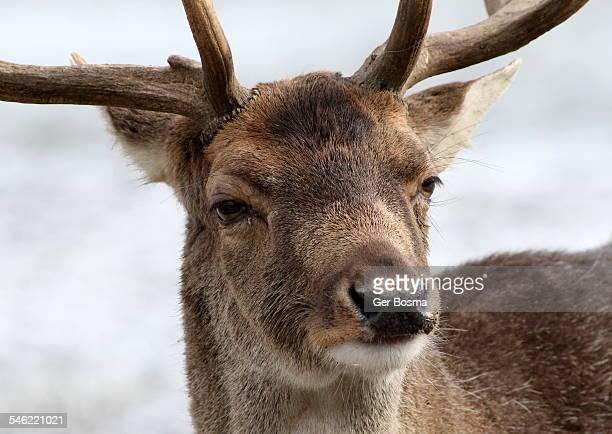 Fallow Deer Frown