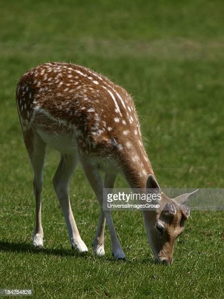 Fallow deer grazing UK