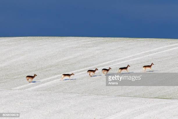 Fallow deer herd crossing field in the snow in winter