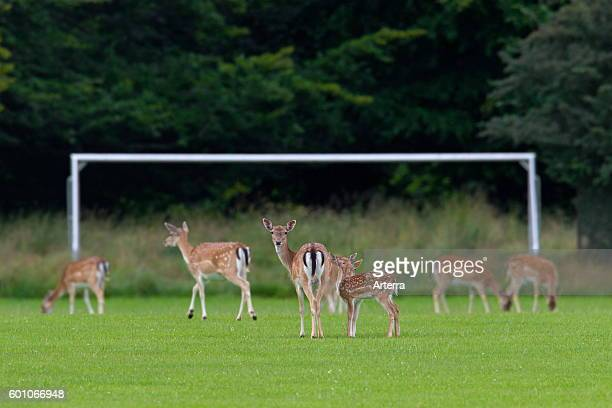 Fallow deer herd of does and fawns grazing grass from football field in summer
