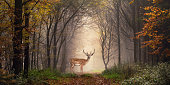 Fallow deer standing in a dreamy misty forest, with beautiful moody light in the middle and framed by darker trees