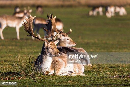 Fallow deer in the sun