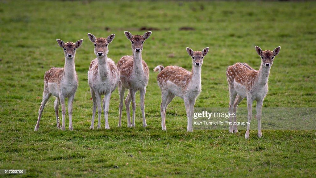 Fallow deer : Stock Photo