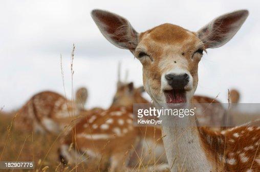 Fallow Deer Portrait