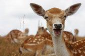 """A humourous portrait of a fallow deerKnole Park , Sevenoaks , Kent , England"""