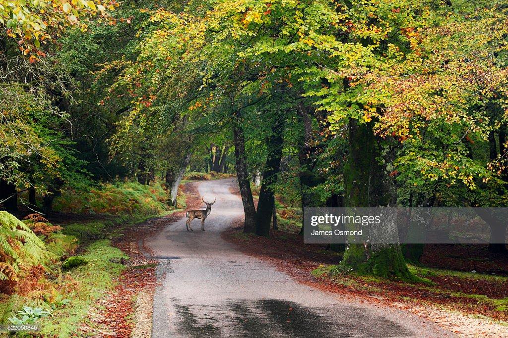 Fallow deer stag crossing the road.