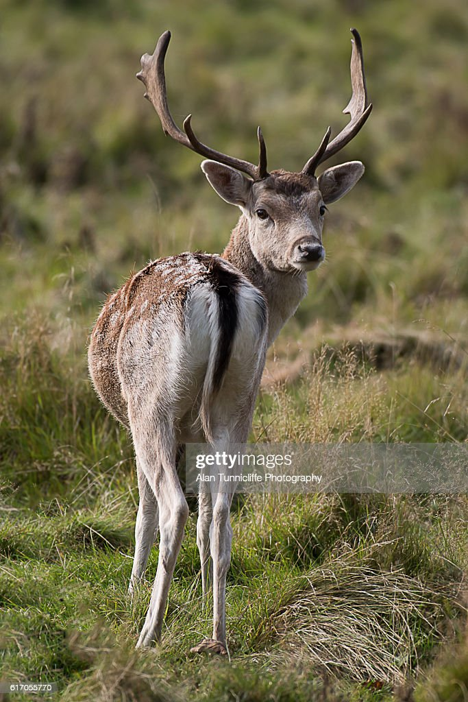 Fallow deer stag : Stock Photo