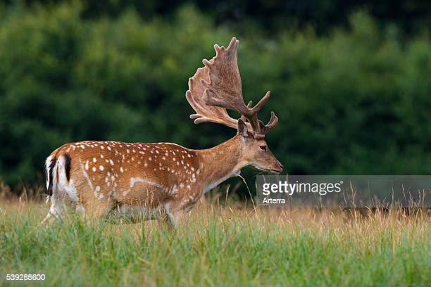 Fallow deer stag with antlers covered in velvet Denmark