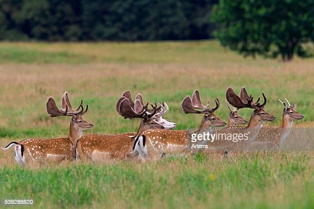 Fallow deer stags with antlers covered in velvet and white morph deer Denmark