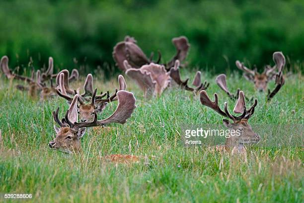Fallow deer stags with antlers covered in velvet resting at forest's edge Denmark